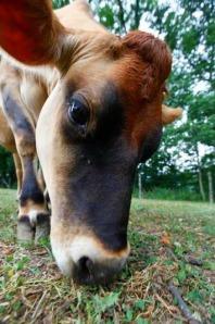 cow bliss animal sanctuary