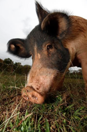 pig ham thanksgiving