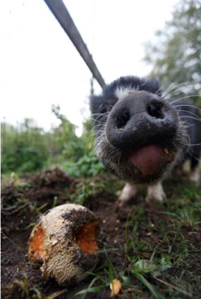 pot belly pig mouth