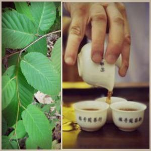black birch leaves tea