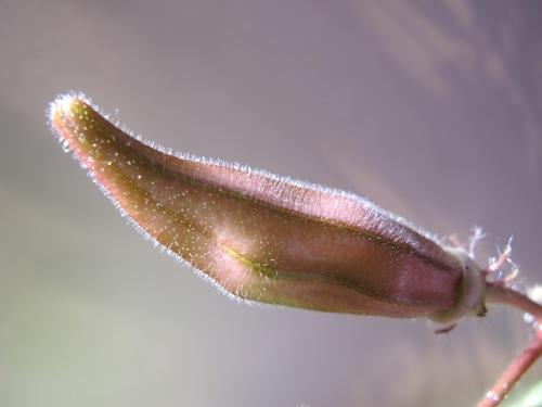 red okra close up