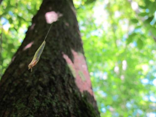hanging slug