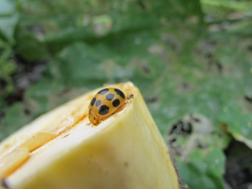 They have squashes growing in their parking lot, and the ladybugs love it!