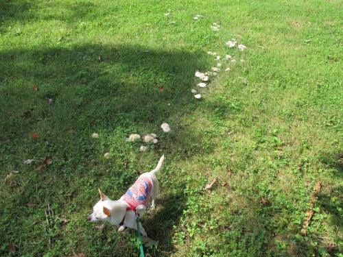 Penny walking on mushrooms.