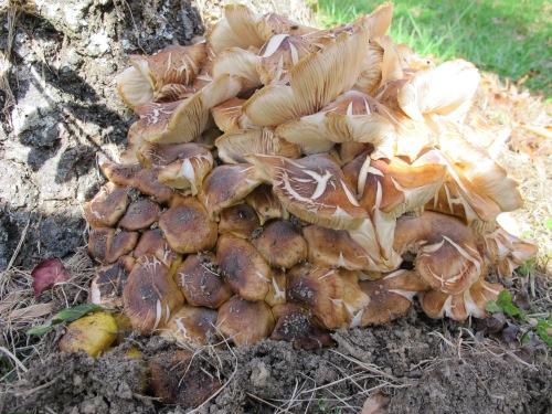 Armillaria mellea complex honey mushroom