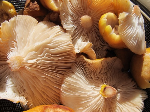 honey mushrooms edible wild foods