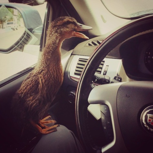 duck in car
