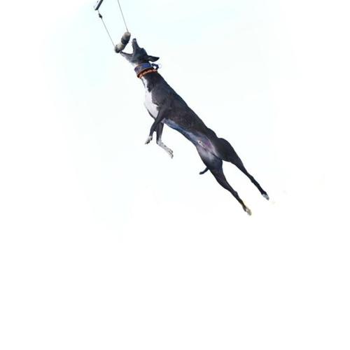 spitfire dog