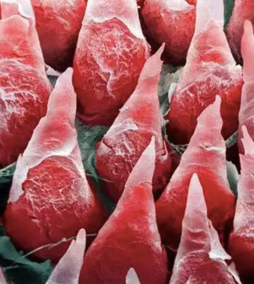A human tongue under a microscope