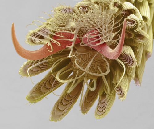 A mosquito foot
